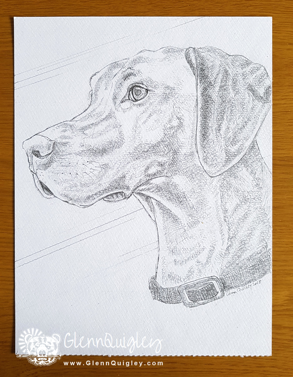 Pencil drawing of Willow by Glenn Quigley