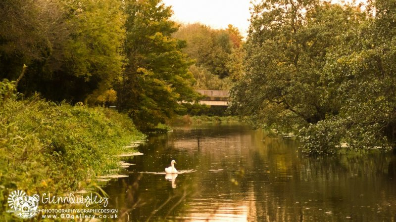 Autumn swan 4 watermark web.jpg