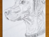 Pencil drawing of Willow, Chris Janaway's dog 2nd April 2018 watermark web