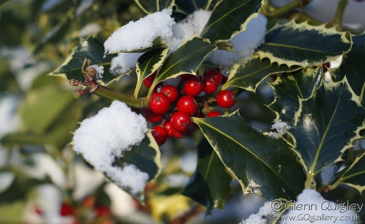 snow-and-holly-1