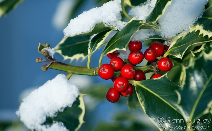 snow-and-holly-2