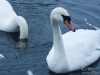 winter-swans2a
