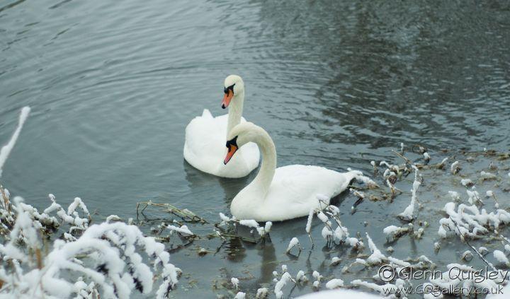 winter-swans1