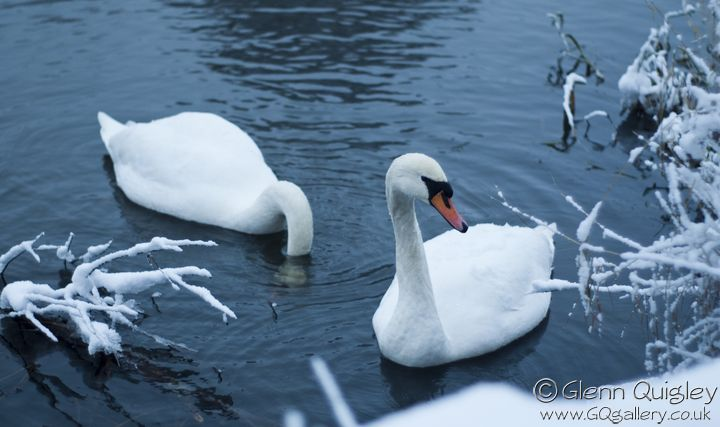 winter-swans2