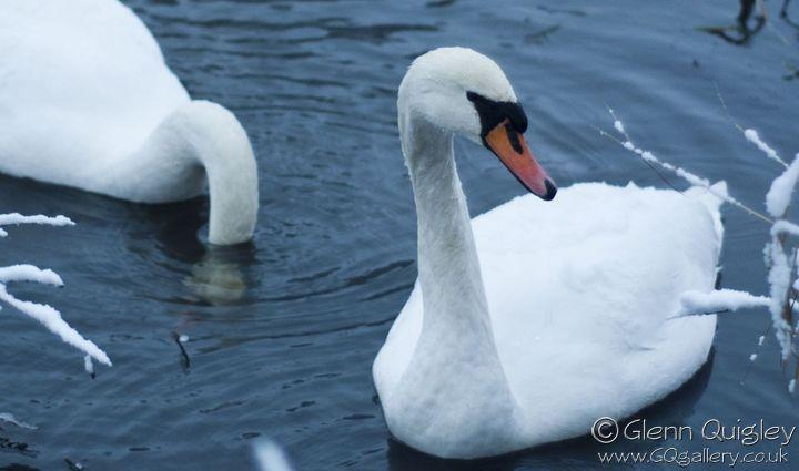 winter-swans2a