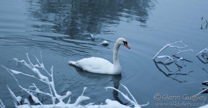 winter-swans3