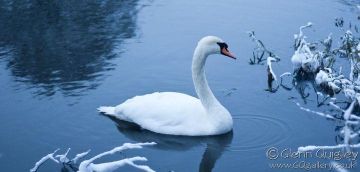 winter-swans4